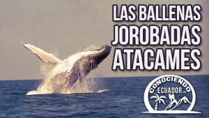 Ballenas atacames